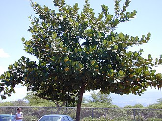 Clusiaceae - Clusia rosea