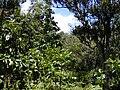 Starr 020518-0021 Cinchona pubescens.jpg