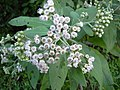 Starr 040209-0054 Pluchea carolinensis.jpg