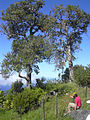 Starr 040522-0020 Santalum freycinetianum var. lanaiense.jpg