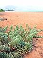 Starr 041102-0350 Vitex rotundifolia.jpg