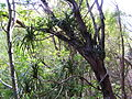 Starr 041219-1742 Freycinetia arborea.jpg