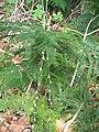 Starr 050517-1467 Asparagus setaceus.jpg