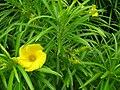 Starr 060916-8887 Thevetia peruviana.jpg