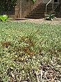 Starr 060922-9181 Chenopodium oahuense.jpg