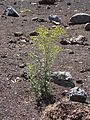 Starr 060929-0679 Senecio sylvaticus.jpg