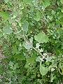 Starr 061129-1689 Chenopodium oahuense.jpg