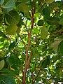 Starr 070221-4648 Gardenia sp..jpg