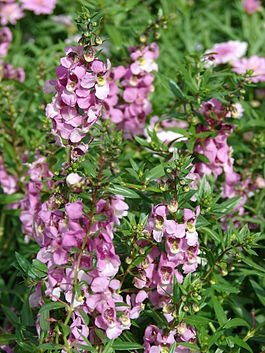 Angelonia angustifolia, Мауи