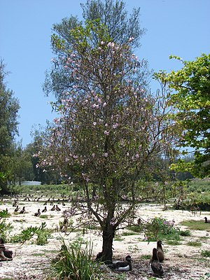 Tabebuia heterophylla