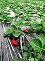 Stawberryfarm.jpg