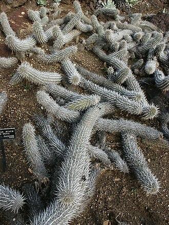 Stenocereus eruca - Image: Stenocereus eruca, Creeping Devils at Huntington