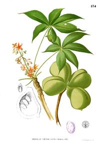 Sterculia foetida Blanco1.134