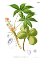 Sterculia foetida Blanco1.134.png