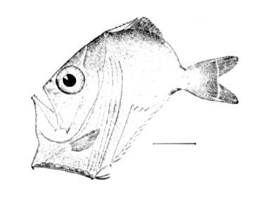 Sternoptyx diaphana