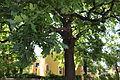 Stieleiche Quercus-robur.JPG