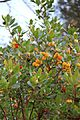 Strawberry tree - Arbutus unedo - panoramio (2).jpg