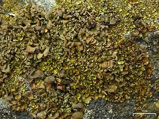 Kožnatka (Dermatocarpon luridum)