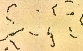 Streptococci.jpg
