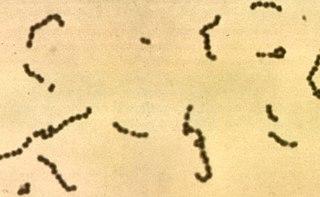 <i>Streptococcus</i> genus of bacteria