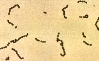 Streptococcus - Image: Streptococci