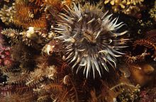 Striped anemone (Anthothoe chilensis).jpg