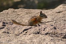 Striped chipmunk (23294427306).jpg