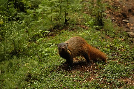 Striped neck mongoose.jpg