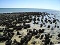 Stromatolites in Shark Bay.jpg