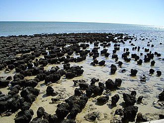 Shark Bay - Stromatolites in Hamelin Pool are ancient structures that are built by microbes.