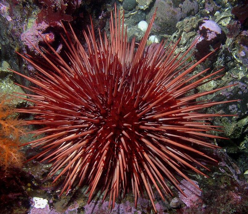 Strongylocentrotus franciscanus.jpg