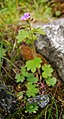 Suksdorfia violacea.jpg