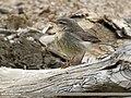 Sulphur-bellied Warbler (Phylloscopus griseolus) (31002480041).jpg