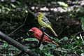 Summer Tanager (male) & Orchard Oriole (female ) (bathing) Boy Scout Woods High Island TX 2018-04-11 12-43-48 (26932542407).jpg
