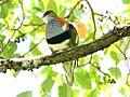 Superb Fruit-Dove (Ptilinopus superbus) (31325780326).jpg