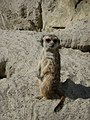 Suricata-suricatta-4.jpg