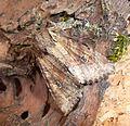 Suspected. Parastichtis suspecta - Flickr - gailhampshire (1).jpg