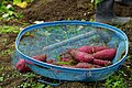 Sweet Potato Harvest (37442144660).jpg