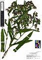Symphyotrichum nova-angilae (7727024208).jpg