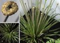 Syngonanthus chrysanthus Mikado Gold.png