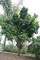 Syzygium samarangense Cham Poo Savey 5zz.jpg