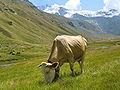 Täschalpe (Wallis) mit Kuh.jpg