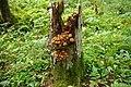 Tõmmu külmaseen (Armillaria ostoyae).jpg