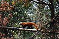 THE SHY RED PANDA.jpg