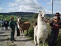 Taking the Llamas for a walk - geograph.org.uk - 1466235.jpg
