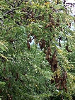 Tamarindus indica pods