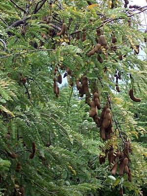 Tamarind - Image: Tamarindus indica pods