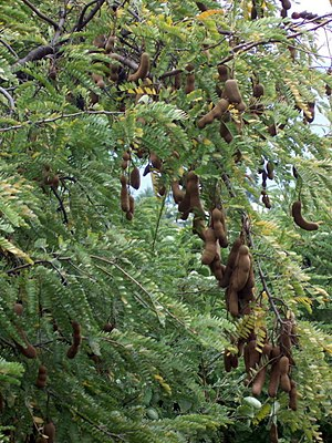 Tamarind tree (Tamarindus indica) with pods