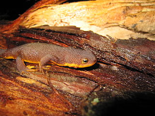 Coastal Range newt subspecies of amphibian