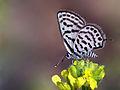Tarucus balkanicus.jpg